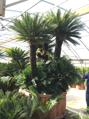 Hardy Cycas revoluta multi-stem