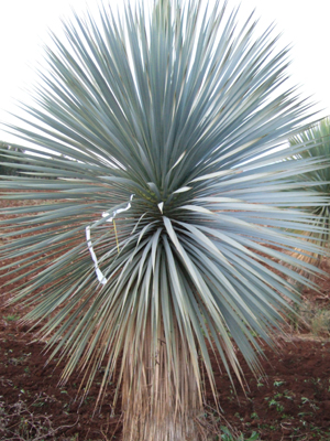 Feature plant Yucca rostrata